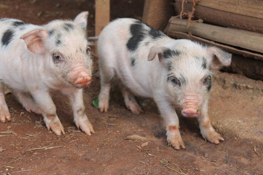 """冬春季气候寒冷,农户养猪又多以敞圈饲养,常饲养6——7个月乃至10个月以上,才能出栏。冬春季要做到""""八防""""生猪方能安全越冬,生长快,效益高。   1、 防风袭。冬季的猪舍必须堵风洞,挂草帘,糊窗口,防止圈内的鼠洞、裂缝、缺口、破顶等风口吹进""""穿堂风""""和""""贼风""""。这两种风吹入猪舍,不仅降低舍温,更能引起猪病,通气孔可留在至少距地面一米以上高处。   2、防潮湿。猪圈干燥是保证生猪健康的主要措施之一,空气是一种导"""